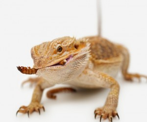 Le Pogona vitticeps, dragon barbu ou agame barbu (mode de vie, maintien, reproduction)