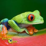 La rainette aux yeux rouges, ou Agalychnis callidryas, une grenouille haute en couleurs