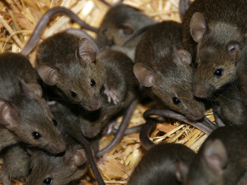 comportement observer les souris sauvages pour comprendre celles de compagnie animogen. Black Bedroom Furniture Sets. Home Design Ideas
