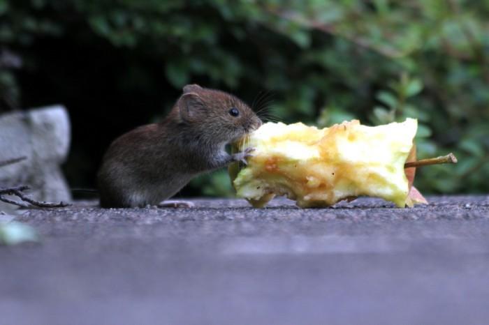 Comportement : observer les souris sauvages pour comprendre celles de compagnie