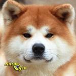 L'Akita Inu, ou Akita ken, chien du patrimoine national japonais