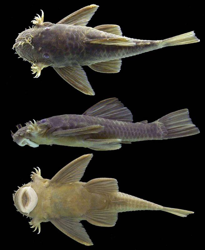 Ancistrus barbillon laveur vitre nettoyeur vitres for Nettoyeur aquarium poisson