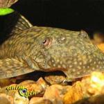 L 39 ancistrus atout discret de nos aquariums d 39 eau for Nettoyeur aquarium poisson