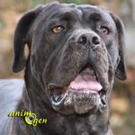 Le Cane Corso, noble chien de cour italien