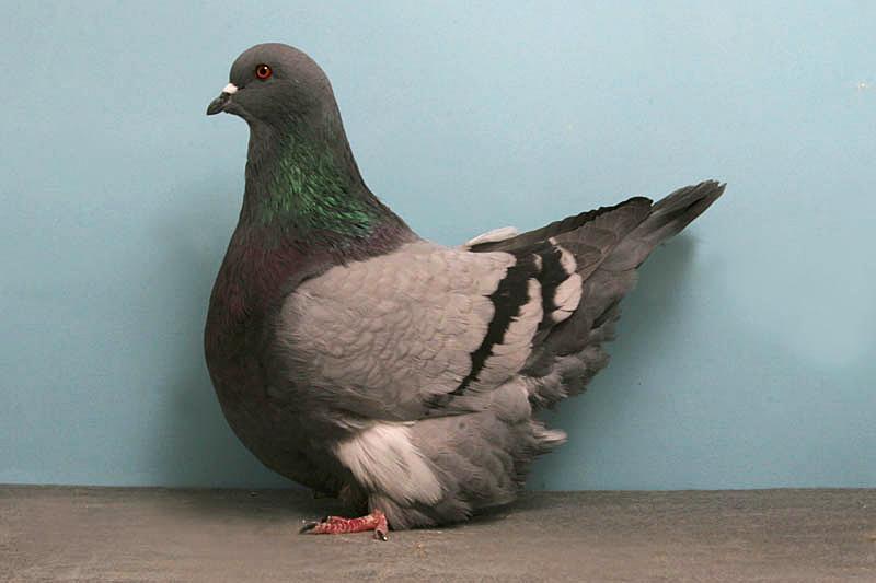 Le Mondain français, un majestueux pigeon de forme