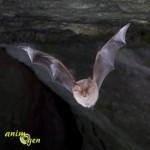 Les ailes du petit Rhinolophe