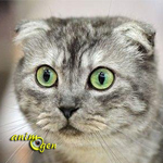 Le Scottish Fold, un chat qui ne laisse pas indifférent