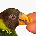 alimentation-importance-qualité-impact-santé-maladies-soins-rapport-alimentation-lien-importance-perroquets-psittacidés-oiseaux-animal-animaux-compagnie-animogen-3.jpg