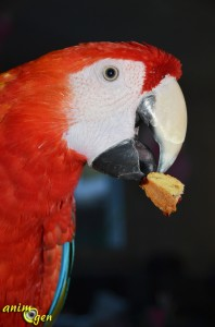 alimentation-recette-gâteau-biscuit-ingrédient-graine-fruit-fabriquer-sain-oiseaux-perroquet-psittacidé-animaux-animal-compagnie-animogen-1