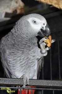 Alimentation : recette de gâteau aux baies fraîches pour perroquets