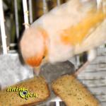 Alimentation, recette de biscuits aux graines pour oiseaux exotiques, pigeons et colombes