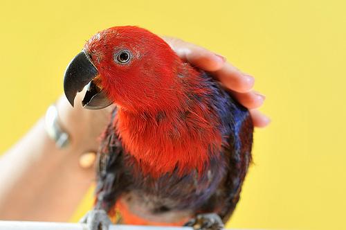 Comment apprivoiser un perroquet sauvage ou EPP (élevé par les parents) ?
