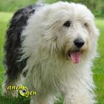 Le Bobtail, une race ancienne de chien de berger