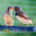 Exposition et Bourse aux Oiseaux Exotiques et Animaux de Basse-cour à Briec (29), du samedi 26 au dimanche 27 octobre 2013