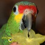Alimentation : la carambole, un fruit étoilé pour nos perroquets