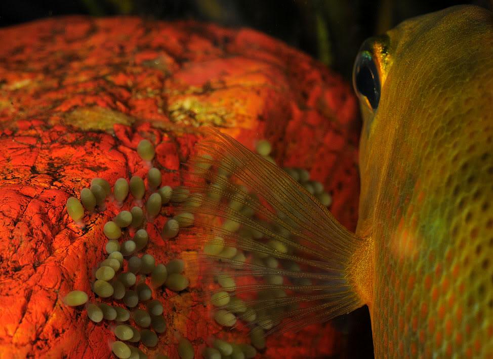 Le Chromide orange, ou Etroplus maculatus