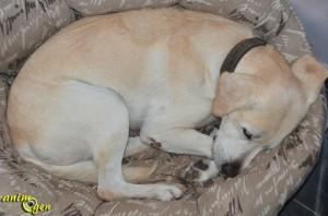 Comportement : pourquoi les chiens enroulent-ils leur corps pour dormir ?