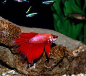 La défense du territoire chez les poissons d'eau douce