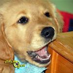 dégâts-maison-bêtise-mordre-mâcher-objet-chose-chiens-chiots-comportements-canins-domestiques-animal-compagnie-animaux-animogen-2