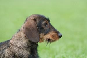 Le Teckel, ou Dachshund, de petites pattes pour une grande personnalité