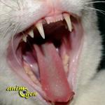 Les problèmes dentaires chez les chats : causes, symptômes, traitements