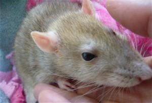 Comment mesurer la souffrance chez les petits animaux de compagnie ?