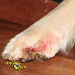 Santé : que faire en cas de cassure ou d'hémorragie des griffes de nos chiens ?
