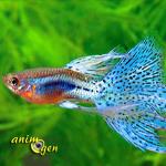 Le guppy, ou Poecilia reticulata, poisson d'eau poisson star des aquariums