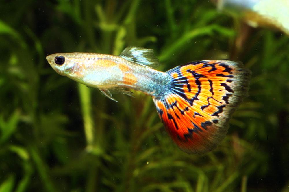 Le guppy ou poecilia reticulata poisson d eau douce for Kleine zierfische