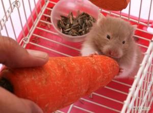 Alimentation : comment bien nourrir un hamster ?