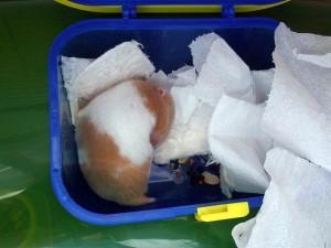Comportement : l'abandon du nid par le hamster syrien, ou hamster doré