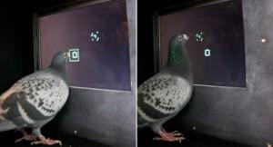Education : les pigeons sont-ils intelligents ?