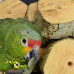 Fabriquer un jouet pour perroquet avec des tronçons de bois vert