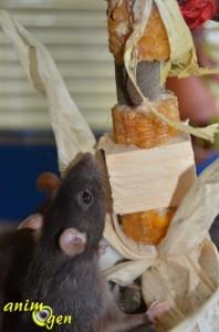 Jouet d'automne pour lapins et rongeurs à fabriquer avec un épi de maïs