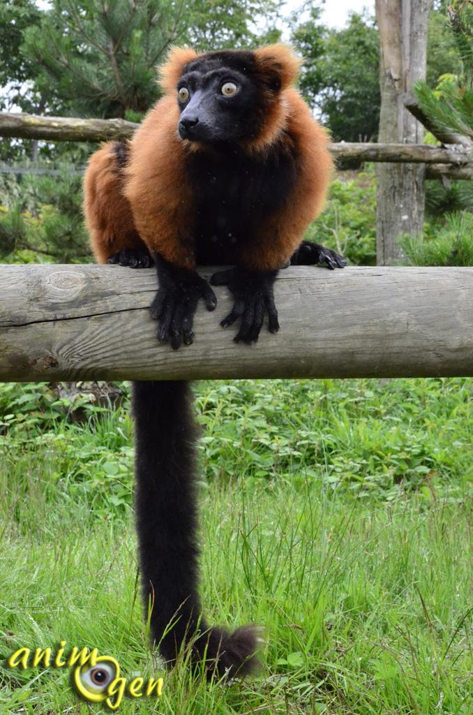 Le maki vari roux, ou varecia variegata rubra, un lémurien à l'odorat sensible