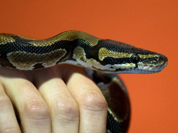 Education : comment habituer un serpent aux manipulations dans son terrarium et au-dehors