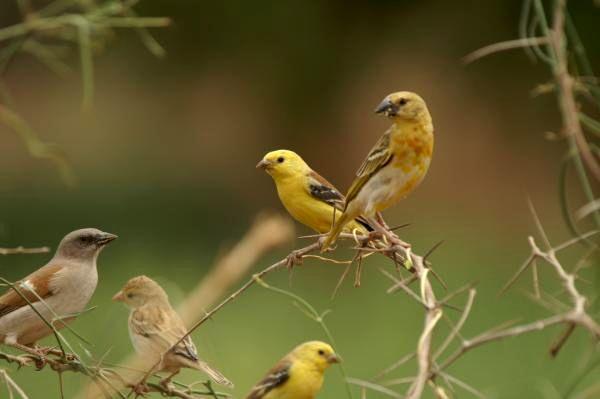 Le moineau doré, ou Passer luteus, un oiseau au ramage puissant