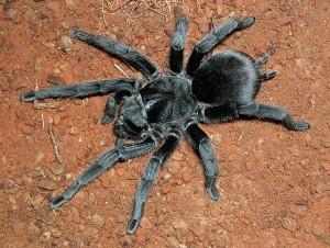 La mygale noire du Brésil, ou Grammostola pulchra