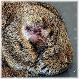 La myxomatose chez les lapins (causes, prévention, symptômes, contagion, traitement)