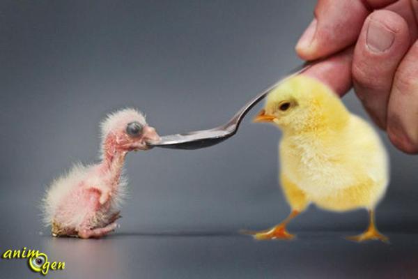 Oiseaux nidifuges et nidicoles, quelle est la différence ?