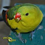La perruche mélanure, ou Polytelis anthopeplus monarchoides, doux oiseau d'Australie