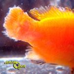 Santé : la corrosion, ou pourriture des nageoires des poissons, Flavobacterium columnare  (causes, symptômes, traitement)