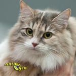 """Santé : les races de chats dites """"hypoallergéniques"""""""