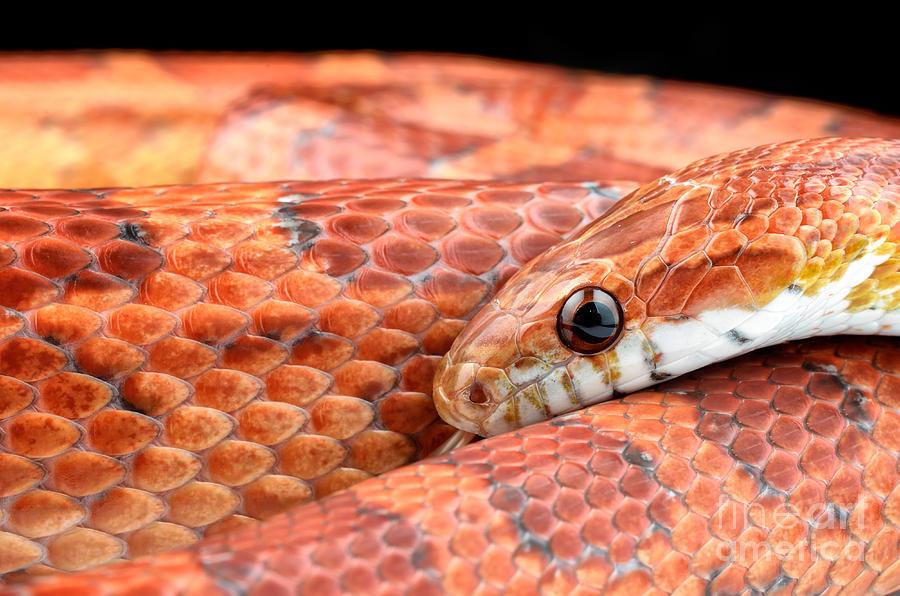 Le serpent des blés, ou Elaphe guttata guttata