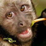 L'alimentation des singes en captivité