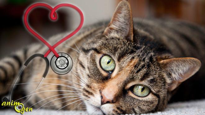 Santé : le souffle au cœur chez le chat (causes, symptômes, traitements)