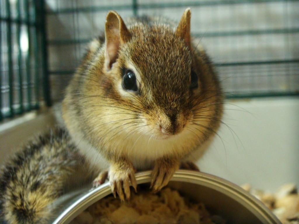 L'écureuil de Corée, ou Tamia de Sibérie