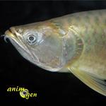 L'Arowana silver, ou Arowana argent, Osteoglossum bicirrhosum, un poisson à ne pas mettre entre toutes les mains