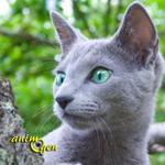 Le Bleu russe, chat Archange aux reflets d'argent