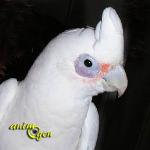 Le Cacatoès à œil nu, ou Cacatua sanguinea